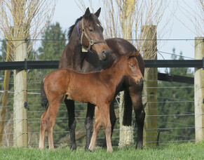 Belardo's first NZ foals have arrived
