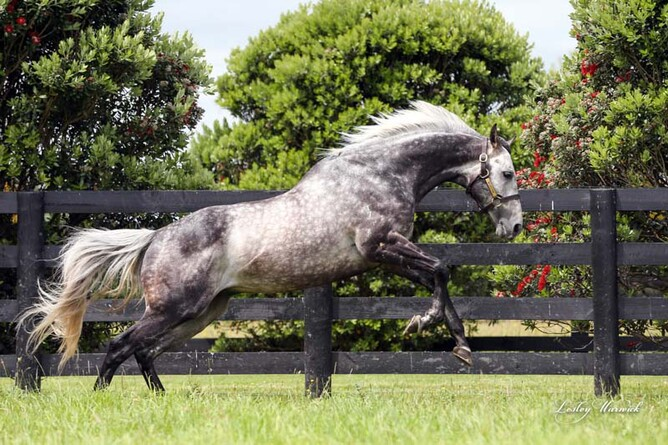 Westbury Stud sire Reliable Man  - Westbury Stud