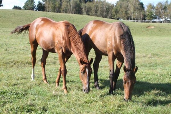 Entirely Platunium (left) and Leebaz as yearlings at Windsor Park Stud's Halidon Hill Property - Photo Sue Schick