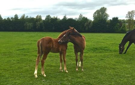 Young foals playing in the paddocks