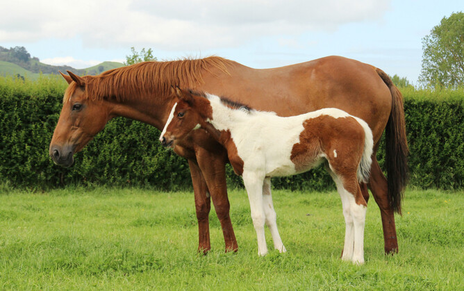 "Just Diamonds - a natural foster mother to ""Enzo"" who came through the foster foal service"