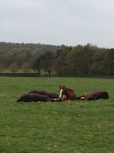 Yearlings relaxing at Cheveley Park Stud