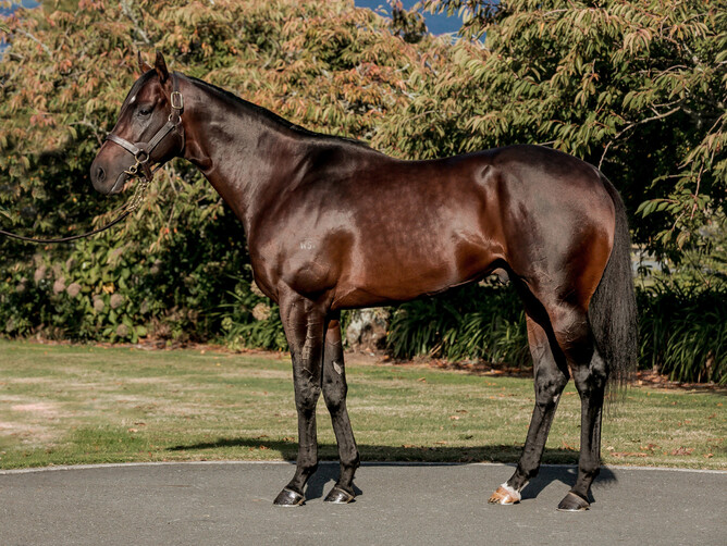 Ardrossan will stand at Waikato Stud this coming season for a fee of $8,000+gst. - Nicole Troost